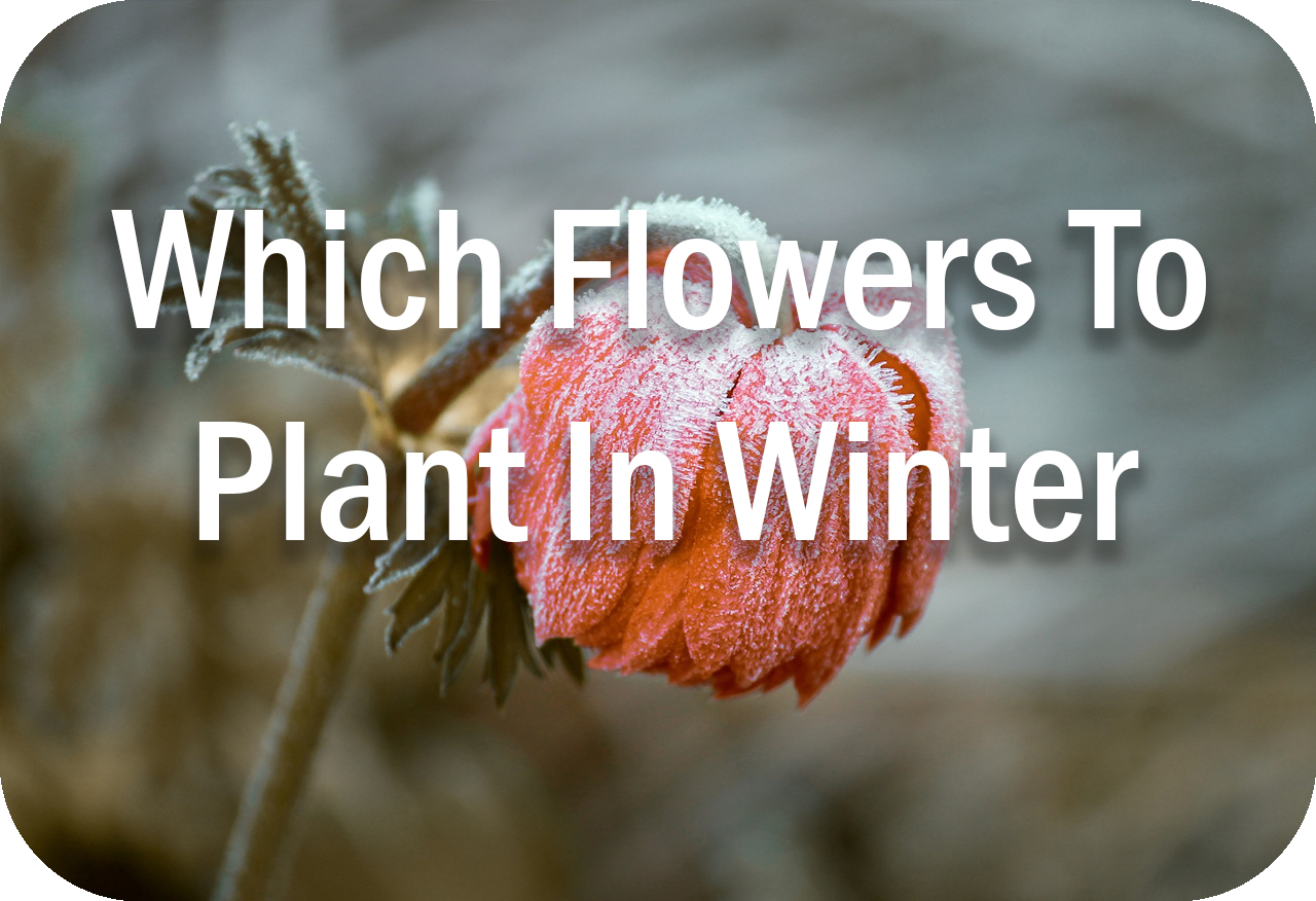 Which Flowers To Plant In Winter Header Image