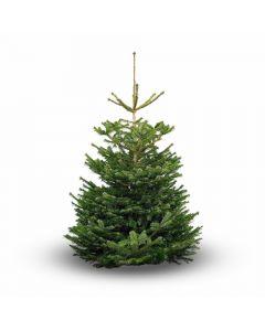 Nordmann Premium Real Christmas Tree 6-7ft - UK Grown!
