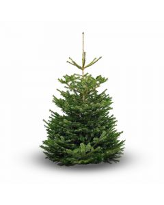 Nordmann Premium Real Christmas Tree 7-8ft - UK Grown!