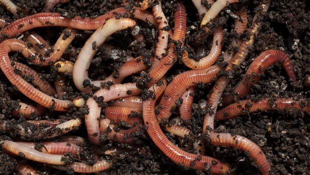 Tiger Worms in compost