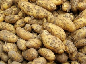 A bunch of potatoes covered in dirt