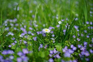 image of lone daisy surrounded by purple flowers in meadow