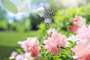watering pink flowers from white watering can