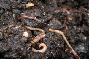 picture of worms in soil