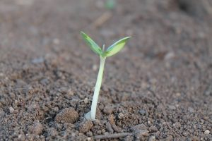 picture of seedling in ground